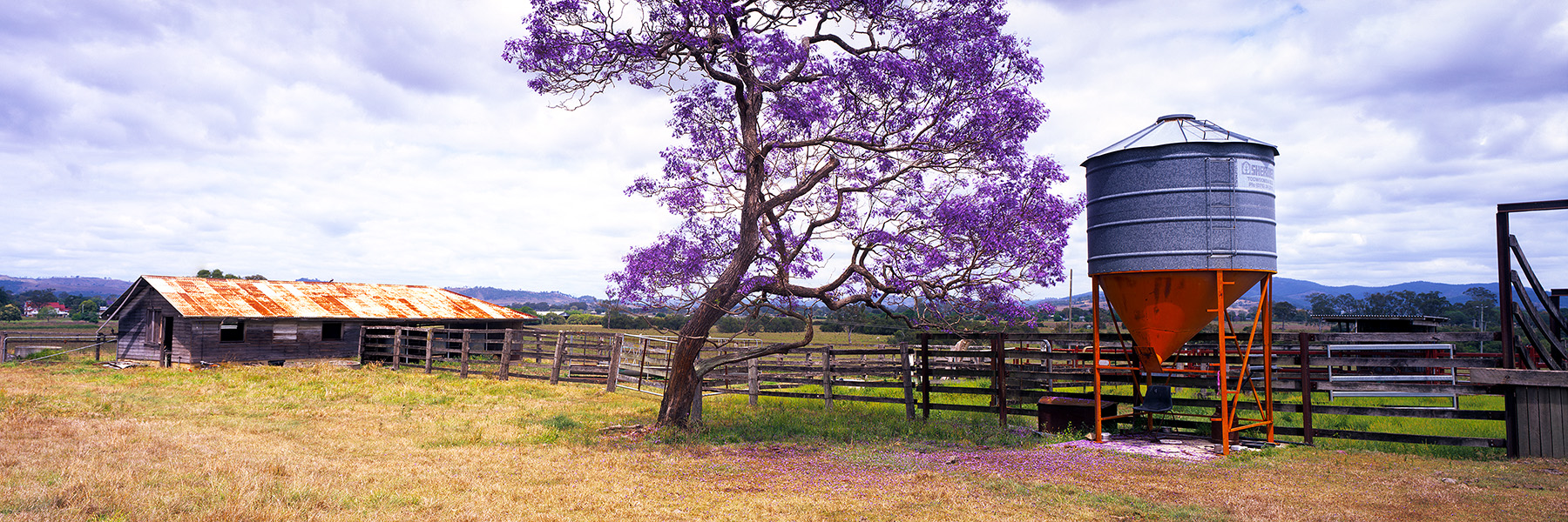 Country Jacaranda Tree